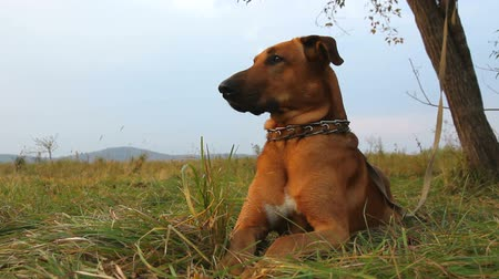 hunting dog : red dog in autumnal field