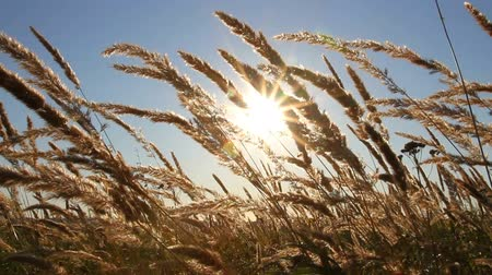 milho : dry grass in a field at sunset Stock Footage