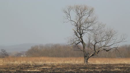 száraz : lonely dry tree on the scorched earth