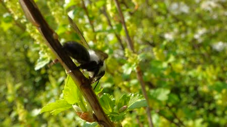 forest animals : Black bee on tree Stock Footage