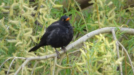turdus merula : Blackbird sitting on tree branch Stock Footage