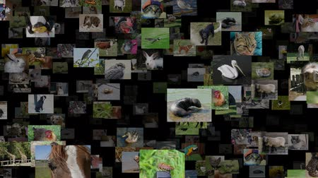cow flies : Photo stream of animals moving IN, seamless loop