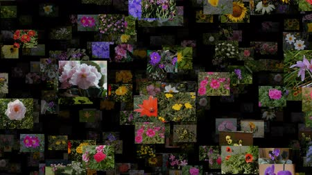 prezentaci : Photo stream of flowers moving OUT, seamless loop Dostupné videozáznamy