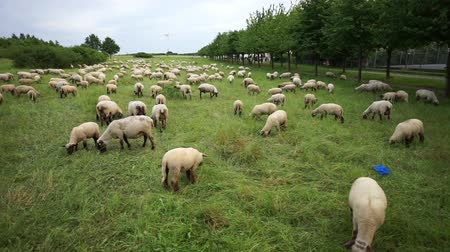 The herd of lambs is grazed on a meadow on the suburb of the Hannover city 影像素材
