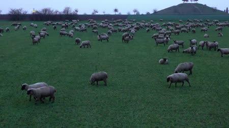 The herd of lambs is grazed on a meadow on the suburb of the Hannover city. Germany. 影像素材