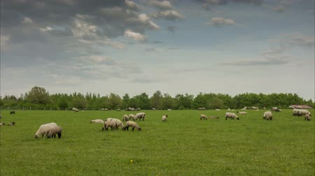 Herd of the grazed sheep on the suburb of Hanover. Time lapse.