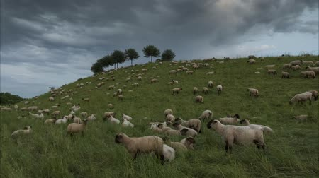 anyajuh : The herd of sheep is grazed in the evening on the suburb of Hannover. Lower Saxony. Germany. Time lapse. 4K. Stock mozgókép