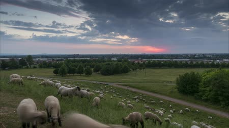 The herd of sheep is grazed in the evening on the suburb of Hannover. Lower Saxony. Germany. Time lapse. 4K. 影像素材