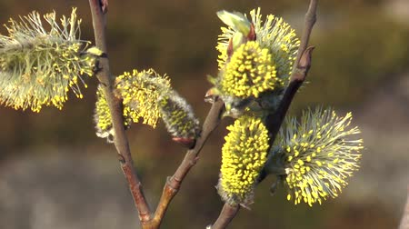 prickly : Yellow fluffy buds flowering willow, trembling in the wind a Sunny spring day.