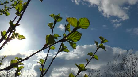 dal : The branches of the northern birch with young green small leaves swaying in the wind against a bright spring sun and light clouds bright spring day. Stok Video