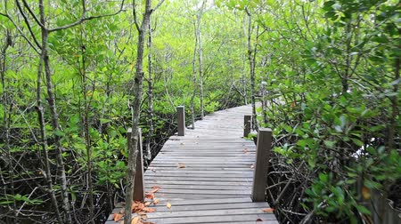 floresta tropical : Mangrove forest and wood bridge Stock Footage