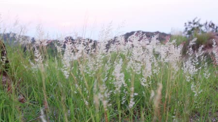 stalk : Melinis repens grass flowers, Thailand