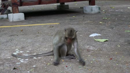monkey temple : monkey on the cement road at the buddhism temple Stock Footage