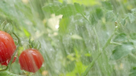 Cherry tomato with water drop. Dostupné videozáznamy