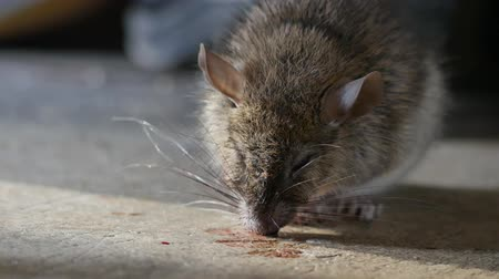 kotki : Rat being dying after eating Rat poison. It cough up blood. Wideo