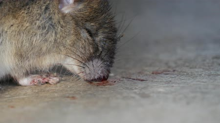 haşarat : Rat being dying after eating Rat poison. It cough up blood. Stok Video