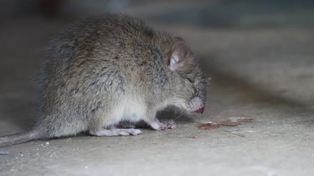 plivat : Rat being dying after eating Rat poison. It cough up blood. Dostupné videozáznamy
