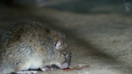 tosse : Rat being dying after eating Rat poison. It cough up blood. Stock Footage