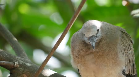 Dove on tree cleaning feather.
