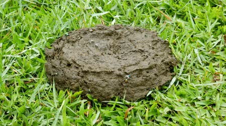 ультра : Fresh cow dung on grass with fly and Drosophila.