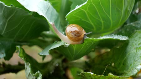 Small snail crawl on vegetable leaves in the  rain drop time.