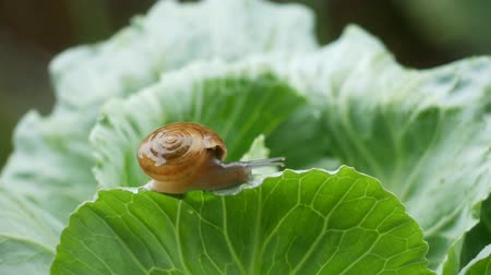 Small snail crawling on cabbage leaf in raining. Dostupné videozáznamy