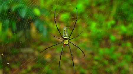 паук : Golden orb weaver spider in the net High wind day Стоковые видеозаписи