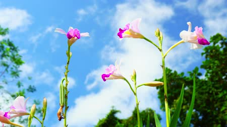 orchidea : Footage of Beautiful wild orchid in the rainforest Blue sky white clouds background