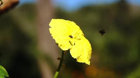 hoverfly : Small insects on yellow flower in the forest Slow motion