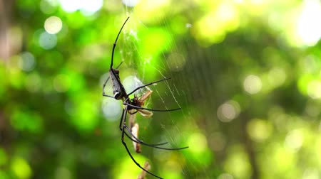 паук : Golden orb weaver spider in the rainforest