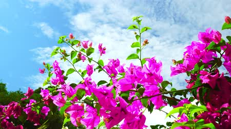 장식 정원 : Beautiful Bougainvillea flower Blue sky background