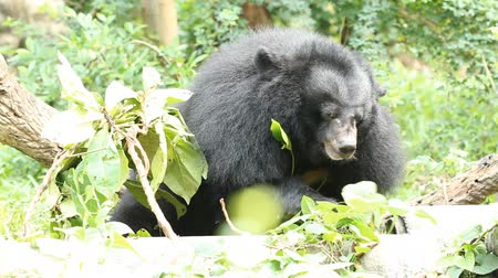 miś : Black bear eating Wideo