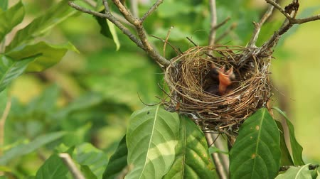 fészek : Two hungry baby birds in a nest