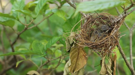 fészek :  Baby bird in a nest Stock mozgókép