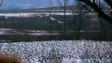 snow geese flying over grounded flock Стоковые видеозаписи