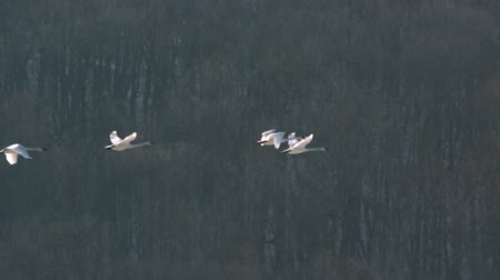swans flying against trees