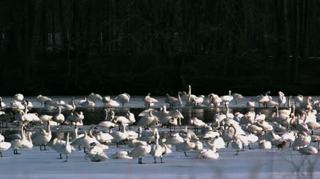 tundra swans on lake Стоковые видеозаписи