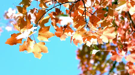 fall leaves against blazing blue sky