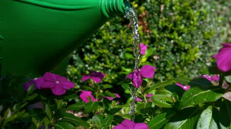 front or back yard : watering can on pink flowers Stock Footage