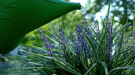 focus on foreground : watering can on purple flowers Stock Footage