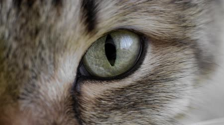 gato selvagem : HD: extreme macro close-up of a cats eye