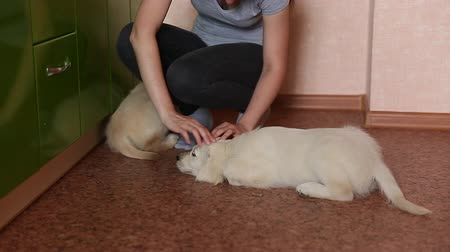 Puppy is a labrador. Girl stroking in the premises of Golden Retriever puppies