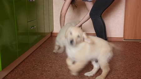 Dog puppy of golden retriever walks to toilet on absorbent diaper. Concept training, training dogs cine. Vídeos