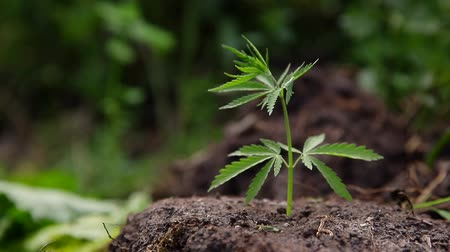 alternatif tıp : Cannabis plantation in sunlight. Bush green marijuana Stok Video