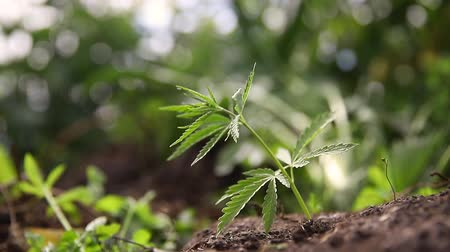 Cannabis plantation in sunlight. Bush green marijuana Vídeos