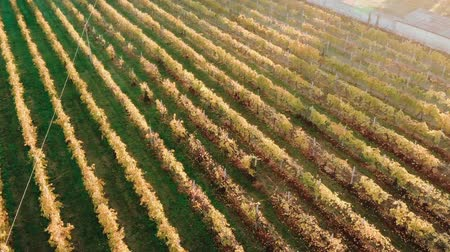 Aerial view Vineyard of Italy in city of Verona sunrise.
