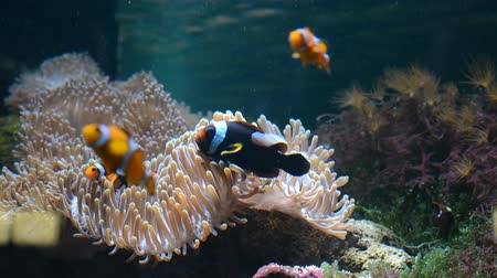 tengeri élet : Reef fish swim among the corals in the background of sea anemones Stock mozgókép
