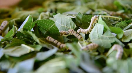 economically : silkworms eating mulberry leaves on the woven basket Stock Footage