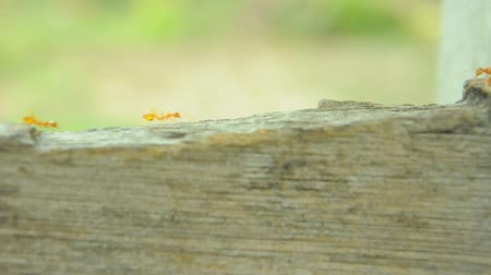 талия : red ants on bridge