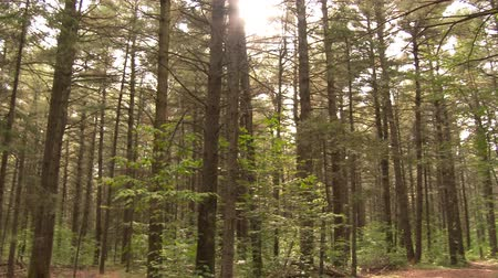 ormanda yaşayan : 4K UHD - Pan right to left of pine and leaves forest with sun shinning through Stok Video